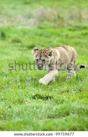 Cute Lion cub runs through the grass - stock photo