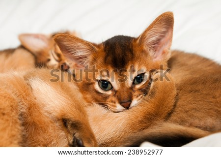 Cute little abyssinian kitten lie and looking at camera - stock photo