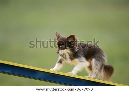 Cute Little Agility Dog - stock photo