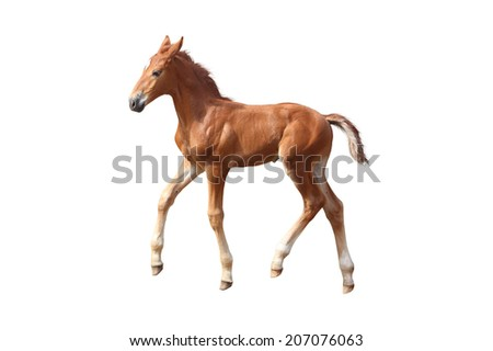 Cute little baby chestnut foal trotting isolated on white - stock photo