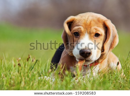 Cute little beagle puppy playing in green grass - stock photo