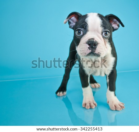 Cute little black and white Boston Terrier puppy standing on a blue background with copy space. - stock photo