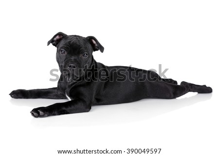 Cute little black puppy on a white background, English Staffordshire Bull Terrier - stock photo