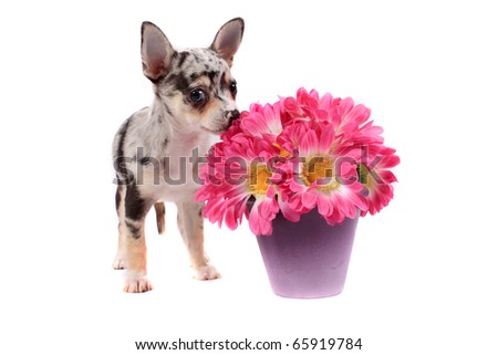 Cute little black spotted chihuahua smelling pink flowers on a white background - stock photo