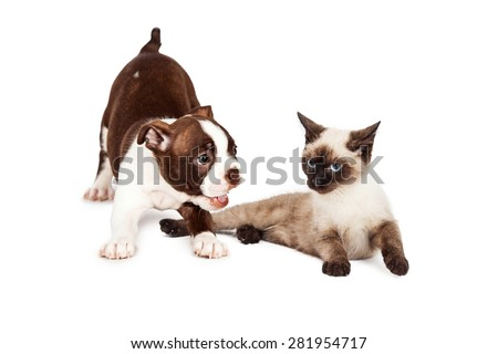 Cute little Boston Terrier puppy bowing down to play with a kitten that is annoyed with her - stock photo