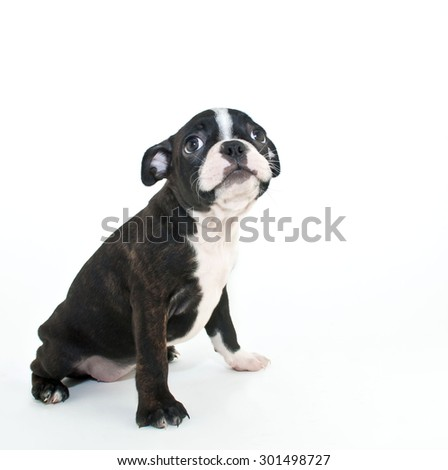 Cute little Boston terrier puppy looking up with a sad look on his face, on a white background. - stock photo