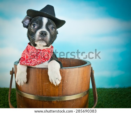 Cute little Boston Terrier puppy sitting in a bucket outdoors wearing a cowboy hat and a hanky, with copy space. - stock photo