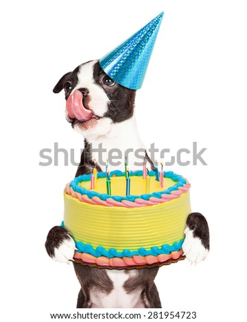 Cute little Boston Terrier puppy with tongue out licking lips and carrying a birthday cake with lit candles. - stock photo