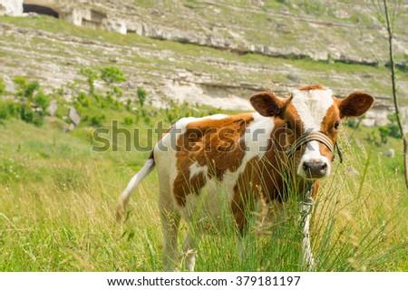Cute little calf - stock photo