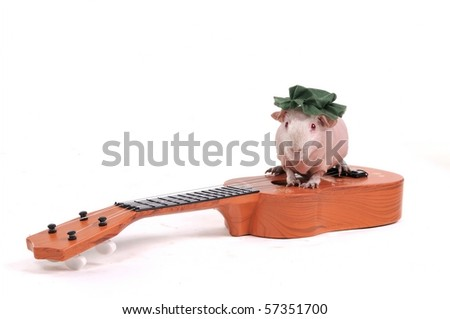 Cute Little Cavy Sitting on top of a Guitar - stock photo