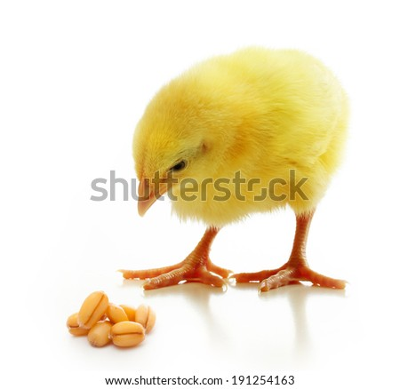 Cute little chicken and wheat grain isolated on white background - stock photo