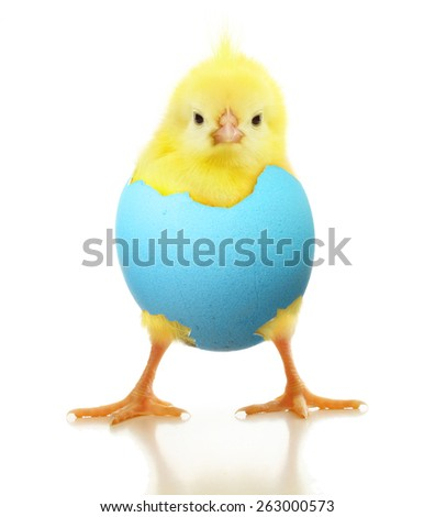 Cute little chicken in egg isolated on white background - stock photo