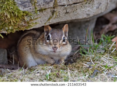 Cute little chipmunk with a face full of food hiding under a rock  - stock photo