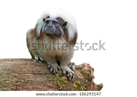 cute little cotton-head monkey - isolated on white background - stock photo