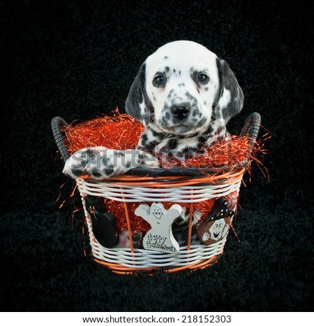 Cute little Dalmatian puppy sitting in a Halloween basket on a black background. - stock photo