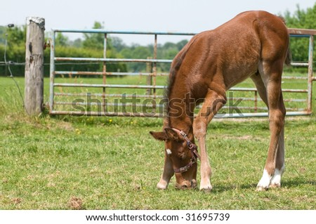 Cute little 10 day old foal eating grass. - stock photo