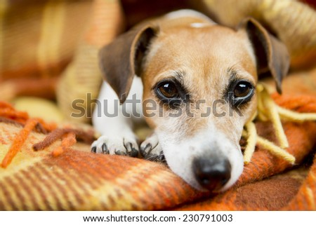 Cute little dog lies nestled warm soft blanket. Relaxation and comfort - stock photo