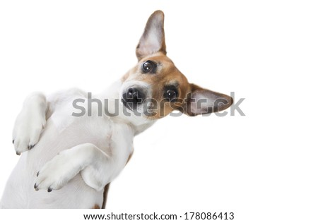 Cute little dog lying on its back, large ears spread to the sides. White background. Studio shot - stock photo
