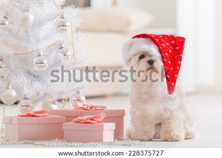 Cute little dog Maltese sitting with gifts near Christmas tree wearing Santa Claus hat  - stock photo