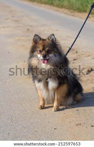 cute little dog on leash - stock photo