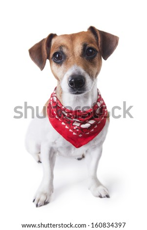 Cute little dog sitting in a trendy red bandana and looking to the camera. White background. studio shot - stock photo