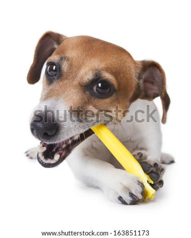 Cute little dog with pleasure gnawing a yellow plastic stick. White background. studio shot - stock photo