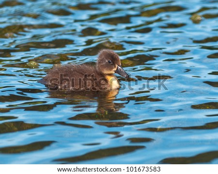cute little duckling swimming in water - stock photo
