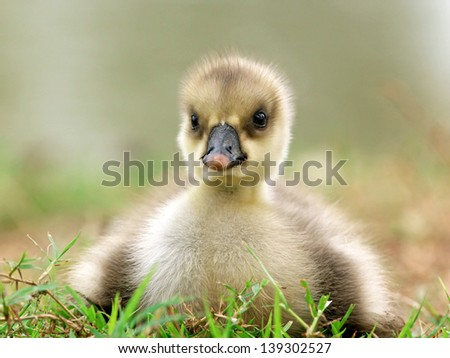 Cute little ducklings on grass. - stock photo