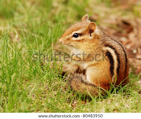 Cute little fat and fluffy baby chipmunk sitting outside the burrow - stock photo