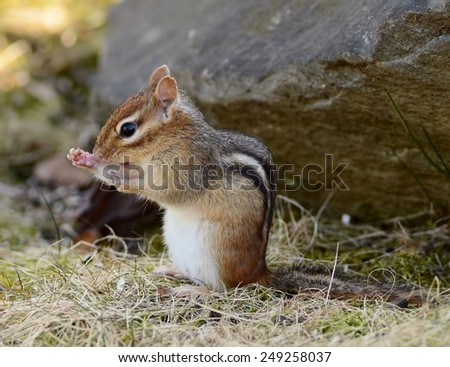 Cute little female chipmunk sits and cleans herself - stock photo