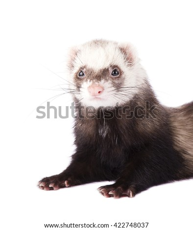 Cute little ferret isolated on white background - stock photo