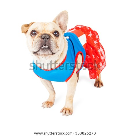 Cute little French Bulldog breed dog wearing a super hero costume - stock photo