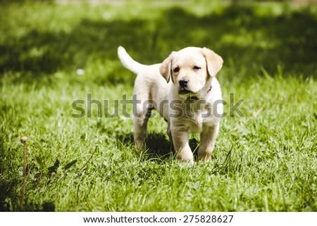 cute little golden retriever puppy - stock photo