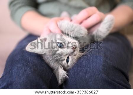 Cute little grey kitten lying on woman knees  - stock photo