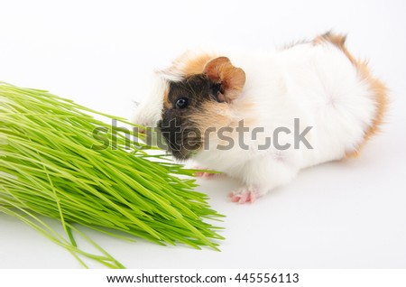 Cute little guinea pig eating a blade of grass and green grass (on a white background) - stock photo