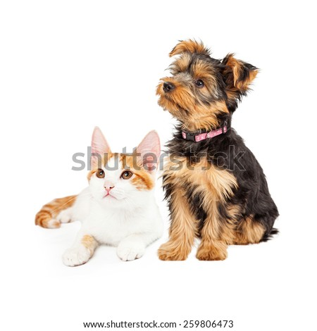 Cute little kitten and Yorkshire Terrier breed dog together looking off to the side - stock photo