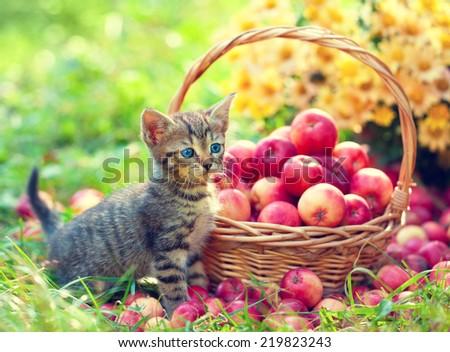 Cute little kitten near basket with red apples in the garden - stock photo