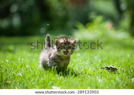 Cute little kitten running through the green lawn mewing - stock photo