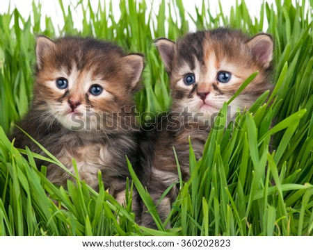 Cute little kittens in the bright green grass over white background - stock photo