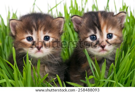Cute little kittens in the bright green grass over white background. Focus on the right one kitten - stock photo