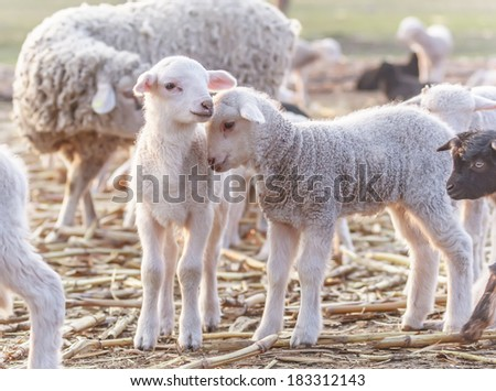 Cute little lambs at eco farm, from Tulcea, Romania.  - stock photo