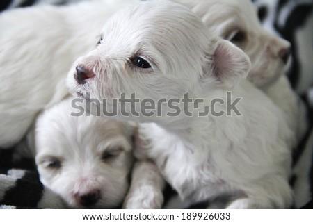 cute little maltese puppy - stock photo
