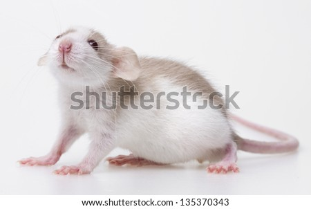cute little mouse isolated on a white background - stock photo