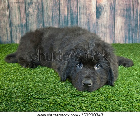 Cute little Newfoundland puppy laying in the grass with a sad look on his face. - stock photo