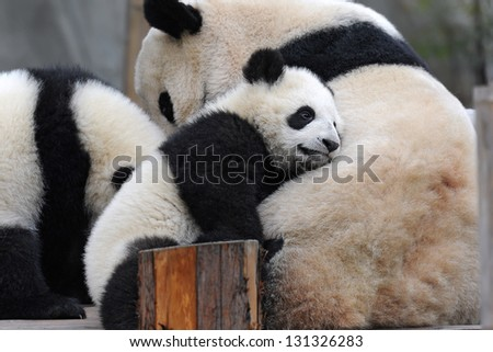 Cute little panda bear resting on mother's body - stock photo