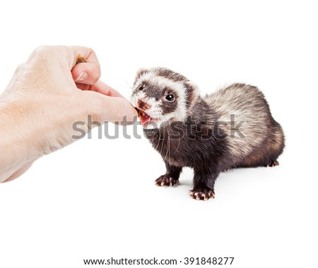 Cute little pet ferret eating a treat out of the hand of a person - stock photo