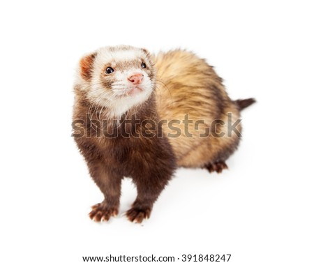 Cute little pet ferret isolated on white  - stock photo