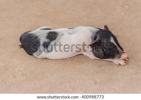 cute little pig sleeping in farm - stock photo