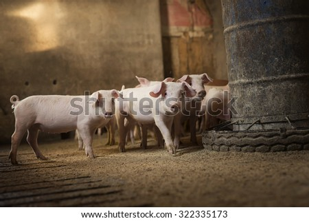 Cute little pigs looking at camera and waiting for food in pigsty. Shallow depth of field, focus is on one pig in the middle. - stock photo