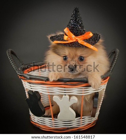 Cute little Pom puppy wearing a witch hat sitting in a Halloween basket on a black background. - stock photo